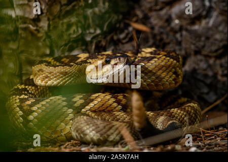 Western Black-tailed Rattlesnake, (Crotalus molossuss), Sonora, Mexico. - Stock Photo