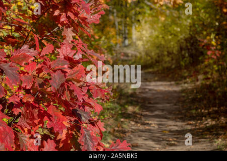 Red royal oak leaves. Alley in the autumn forest. Europe, Poland, October. - Stock Photo