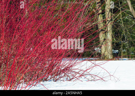 Winter landscape with a shrub of red willow with long rods among the snow - Stock Photo
