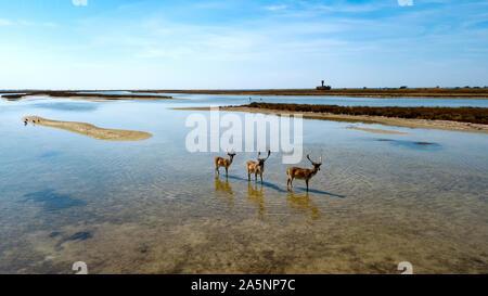 aerial view of deers in shallow water, sika deers in the autumn lake, Herd of deer in autumn steppe aerial, aerial view of deers in the wild - Stock Photo