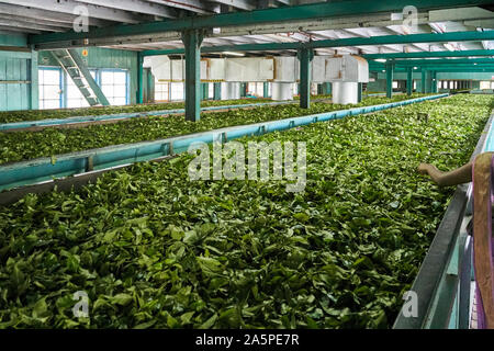 Tea factory drying shed near Kandy Ceylon/Sri Lanka - Stock Photo