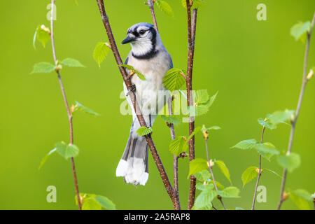 Blue jay perched in a speckled alder tree. - Stock Photo