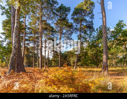 Early autumn on Strensall Common in Yorkshire.  Rustic coloured ferns are in the foreground near the trunks of tall trees with others in the backgound - Stock Photo