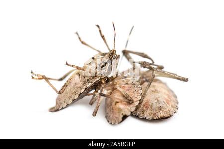 Brown Marmorated Stink Bug, Halyomorpha halys against white background - Stock Photo