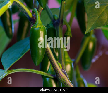 Organic jalapeño (Capsicum annuum) peppers on a jalapeno plant. Close-up photo. Very hot and healthy green, chili peppers. - Stock Photo
