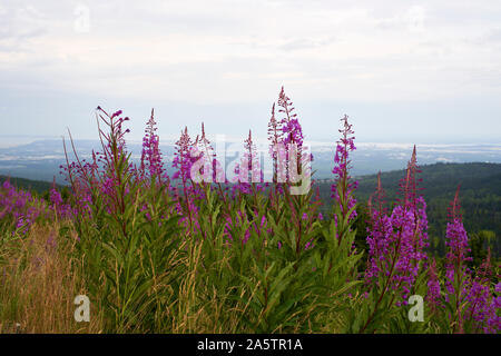 Fireweed with the city of Anchorage in the background - Stock Photo