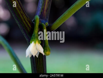 Close up photo of jalapeno pepper blooming and unopened flower. The flowers are hanging down from the plant. White blooming flower facing down. - Stock Photo