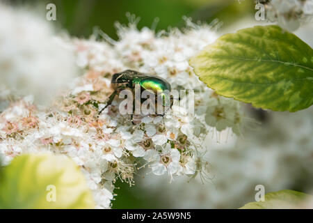 European Rose Chafer Beetle on Birchleaf Spiraea Flowers in Springtime - Stock Photo