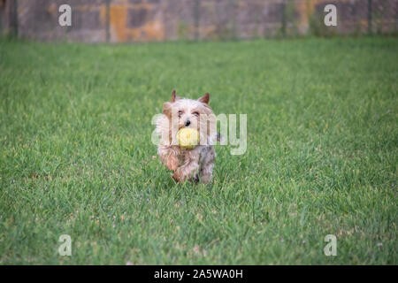 yorkshire terrier running with a ball in his mouth - Stock Photo