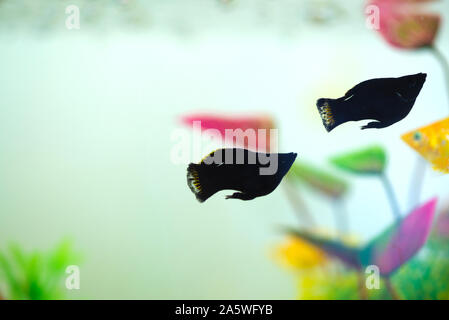 Little Molly fish, Poecilia latipinna in fish tank or aquarium, underwater life concept. - Stock Photo