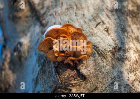 Group of sunlit mushrooms - lemon oyster mushroom growing on an old tree stump in the forest - Stock Photo