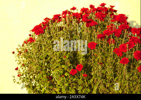 Autumn red flowers on a yellow background - Stock Photo