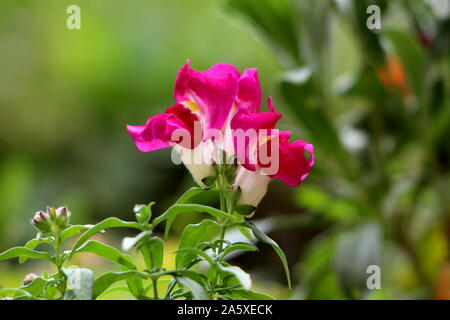 Common snapdragon or Antirrhinum majus herbaceous perennial plant with small fully open blooming dark pink and white flowers surrounded with green - Stock Photo