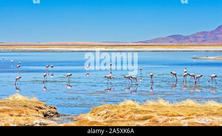 Flamingos feeding at Salar de Tara (Tara Salt Flat) in Los Flamencos National Reserve, Atacama desert, Chile - Stock Photo