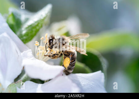 Bee - Apis mellifera - pollinates a blossoming apple tree - Malus domestica - in spring - Stock Photo