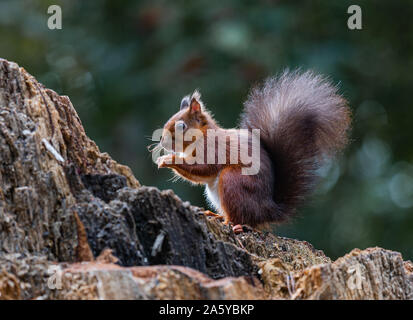 Red Squirrels, Peacocks and Magpies - Stock Photo
