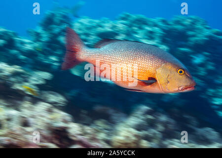 A motion blurred image of a red snapper, Lutjanus bohar, off the island of Yap in the Federated States of Micronesia. - Stock Photo
