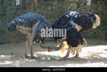 Masai Ostrich couple looking after their ostrich eggs.Large male and female ostrich in Srilankan Zoo. Common ostrich, Struthio camelus, big bird feedi - Stock Photo
