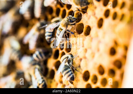 Close-up of bees on honeycomb - Stock Photo