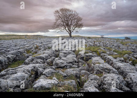 Lonely tree above Malham Cove in the Yorkshire Dales on a late autumn day just as the sun begins to dip