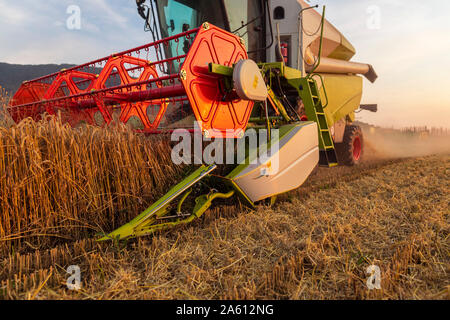 Organic farming, wheat field, harvest, combine harvester in the evening - Stock Photo