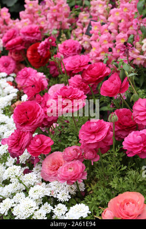 A beautiful flower bed filled with pink Snapdragons, pink and peach Ranunculus and white Candytuft flowers in full bloom