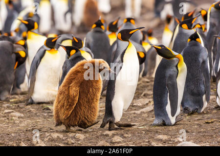 adult king penguin leads older chick through colony looking like any parent with a grumpy teenager at gold harbour, south georgia - Stock Photo