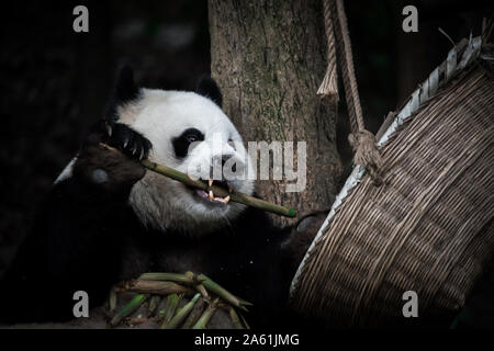 The portrait of lazy big fat Giant panda is eating bamboo from the basket. Chengdu, Sichuan, China. Endangered wildlife. - Stock Photo
