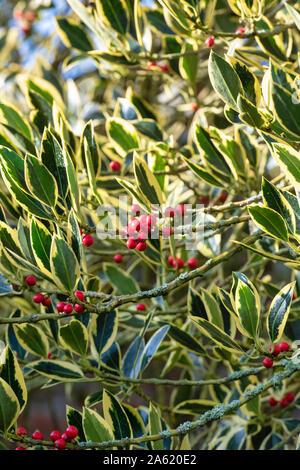 Ilex × altaclerensis 'Belgica Aurea'. Holly 'Belgica Aurea' foliage in autumn - Stock Photo