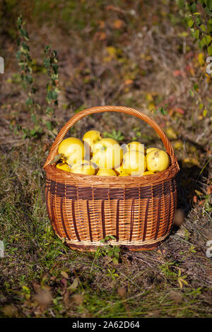 Still life autumn photo of freshly picked yellow quinces in a basket - Stock Photo