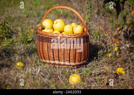 Still life autumn stock photo of freshly picked yellow quinces in a basket - Stock Photo
