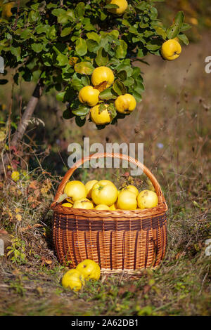 Still life autumn photo of freshly picked yellow quinces in a basket under tree - Stock Photo