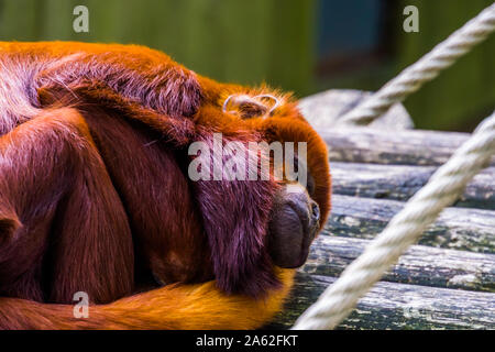 closeup of a coppery titi sleeping, tropical red monkey, exotic primate specie from south America - Stock Photo