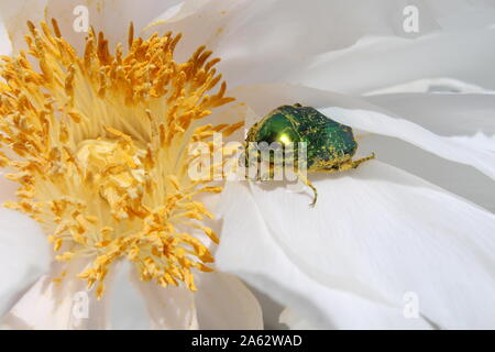A Chinese peony  with a green bug inside - Stock Photo