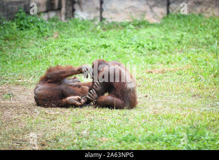 Orangutan family love and playing on green grass field - Stock Photo