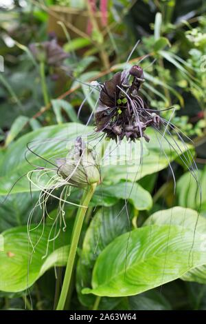 Tacca chantrieri, the black bat flower. - Stock Photo