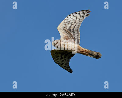 Hen harrier in flight with blue skies in the background - Stock Photo