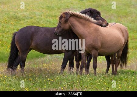 Two Islandic Horses (Equus ferus caballus) at the mutual grooming, Vestrahorn, Iceland - Stock Photo