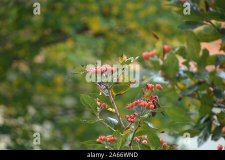 firethorn branch with Orange Berries detail shot, pyracantha or firethorn plant with bright orange red berries - Stock Photo