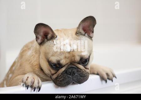 cute sad french bulldog dog being groomed in bath - Stock Photo