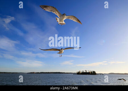 Young Larus fuscus seagulls against blue sky on a sunny day. The birds are following the ferry hoping to be fed. Helsinki, Finland. October 2019. - Stock Photo