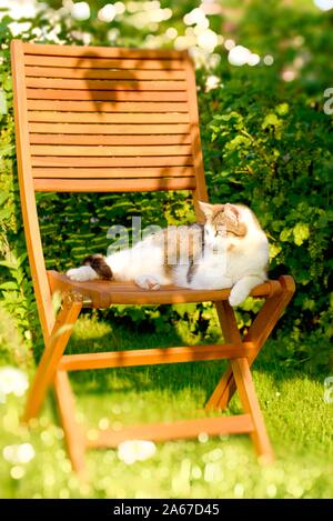 Vertical photo with adult white and tabby cat. Cat is resting on wooden chair. Chair is placed in the garden on grass with green shrub in background. - Stock Photo