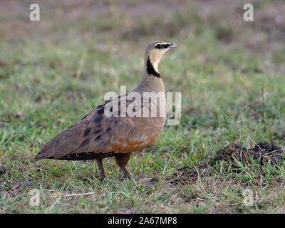 Yellow-throated sandgrouse, Pterocles gutturalis, Single male on grass, Kenya, September 2019 - Stock Photo