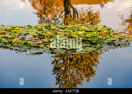 Pond with water lilies, a tree that are reflected on the surface of the water, autumn day in Schinnen (Beekdal Route), Netherlands Holland - Stock Photo