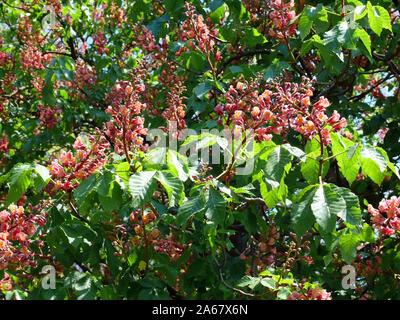 red horse-chestnut, Fleischrote Rosskastanie, Aesculus × carnea, húspiros virágú vadgesztenye - Stock Photo