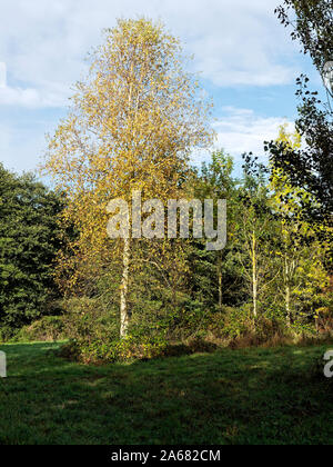 A silver birch tree (Betula pendula) with pale white trunk and golden autumn leaves in Pigney's Wood nature reserve near North Wlasham, Norfolk. - Stock Photo