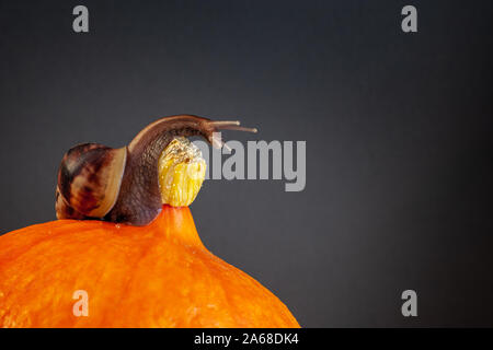A large snail with an elongated neck on a pumpkin. Orange pumpkin, brown snail with long tentacles. Copy space. Vignette. - Stock Photo