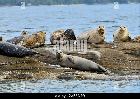 A herd of harbor seals (Phoca vitulina);  lay basking in the warm sunlight on a rocky island beach near Vancouver Island British Columbia Canada - Stock Photo