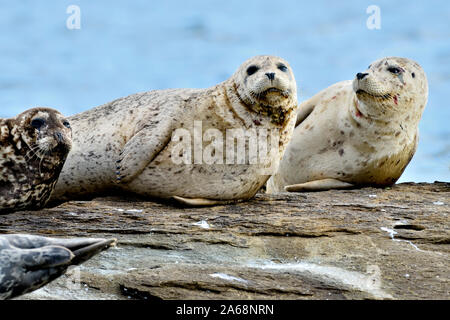 A herd of harbour seals (Phoca vitulina);  lay basking in the warm sunlight on a rocky island beach near Vancouver Island British Columbia Canada - Stock Photo