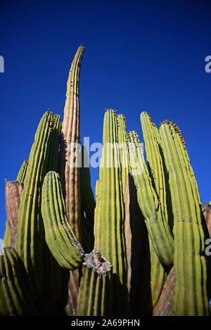 A large Mexican giant cardon cactus (Pachycereus pringlei) on Isla Santa Catalina, Baja California Sur, Mexico. - Stock Photo